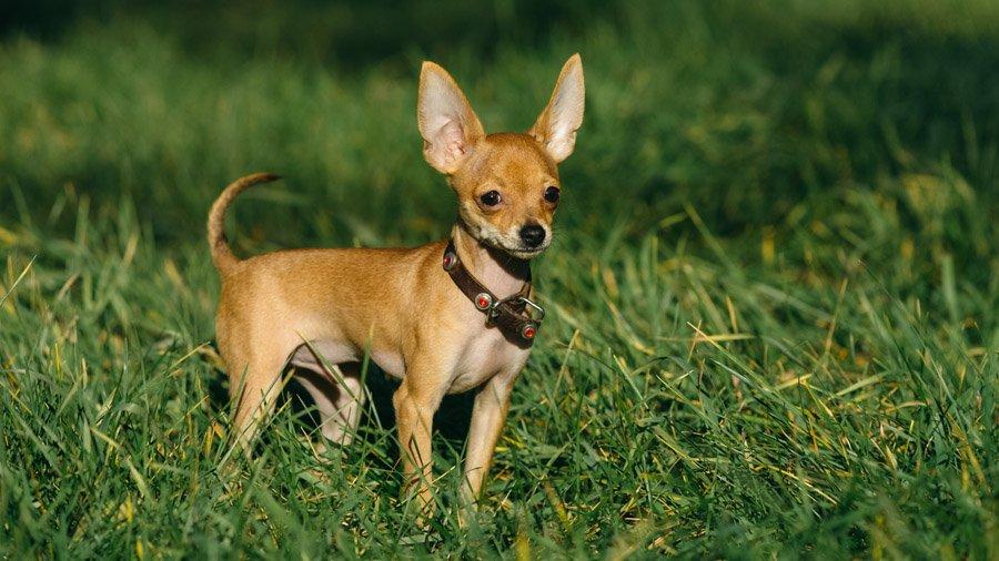 Породы собак с описанием и фото. - Страница 2 1483538766_russkiy-toy-terrier-dog