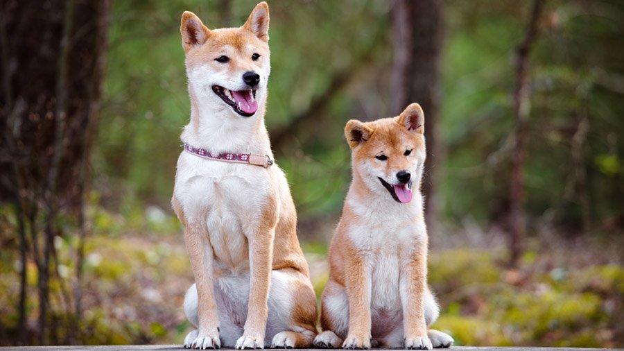 Породы собак с описанием и фото. - Страница 2 1483550019_shiba-inu-dog