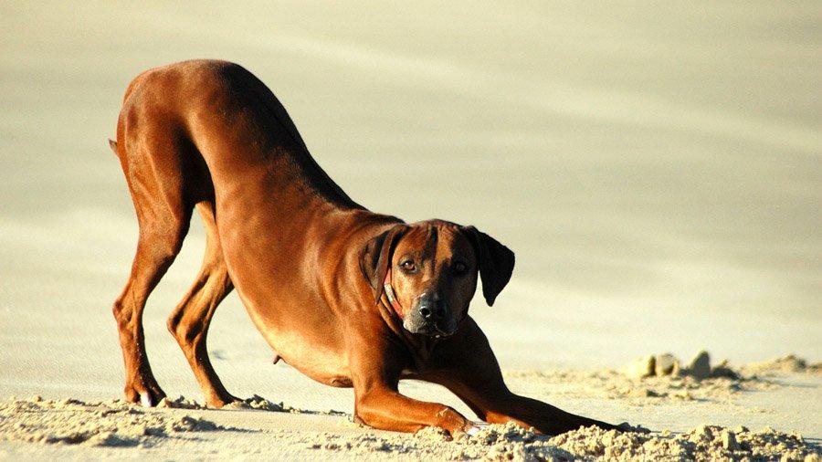 Породы собак с описанием и фото. - Страница 2 1483552484_rhodesian-ridgebac-dog