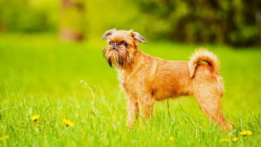 Самые умные породы собак 1483699196_brussels-griffon-dog