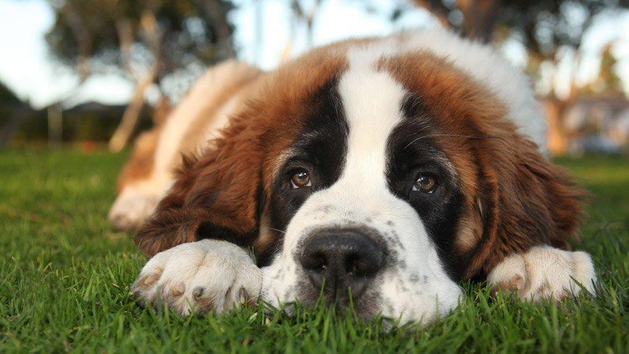 Собака Сенбернар: описание породы, фото, цена щенков, отзывы