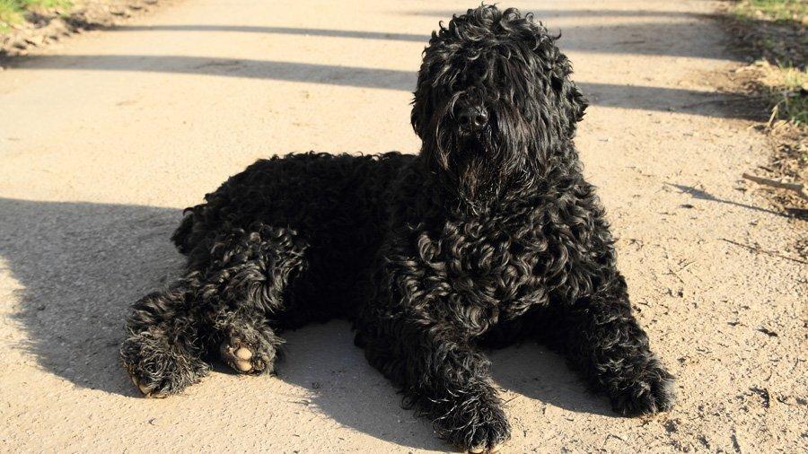 Породы собак с описанием и фото. - Страница 2 1484656045_black-russian-terrier-dog
