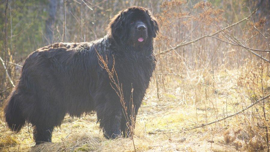Породы собак для детей и семьи 1485017025_newfoundlan-dog