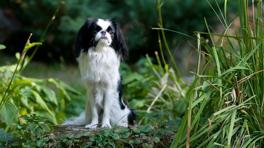 Породы собак для квартиры 1485020178_japanese-chin-dog