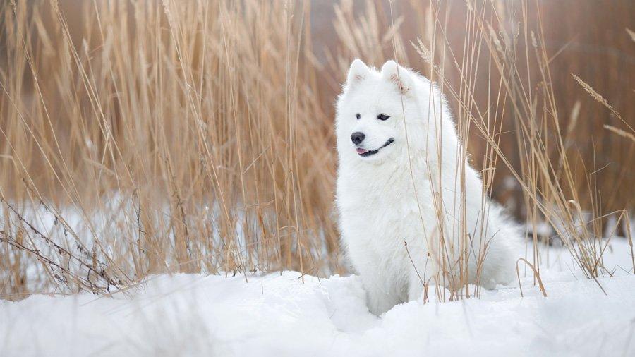 Породы собак для детей и семьи 1485022278_samoyed-dog