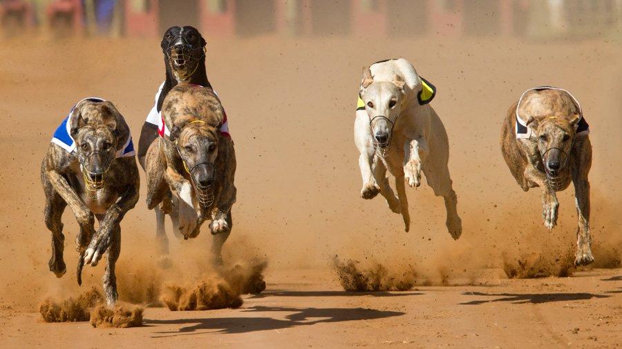 Породы собак для детей и семьи 1485071223_greyhound-dog