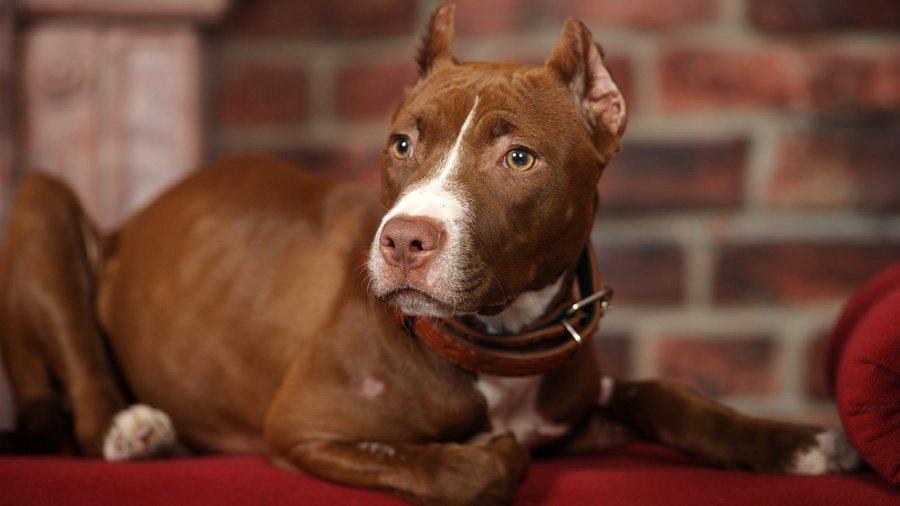 Породы собак с описанием и фото. - Страница 2 1485086423_staffordshire-bull-terrier-dog