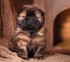 Породы собак с описанием и фото. - Страница 2 1483437195_chow-chow-dog-photo-7