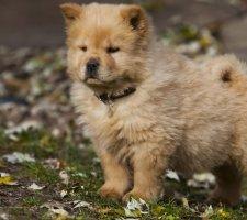 Породы собак с описанием и фото. - Страница 2 1483437197_chow-chow-dog-photo-9