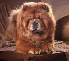 Породы собак с описанием и фото. - Страница 2 1483437216_chow-chow-dog-photo-6
