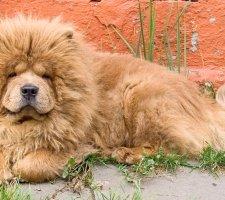 Породы собак с описанием и фото. - Страница 2 1483437220_chow-chow-dog-photo-1