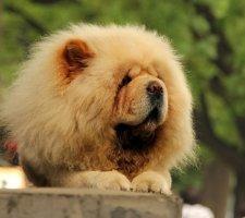 Породы собак с описанием и фото. - Страница 2 1483437220_chow-chow-dog-photo-4