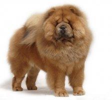 Породы собак с описанием и фото. - Страница 2 1483437234_chow-chow-dog-photo-5
