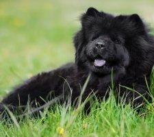 Породы собак с описанием и фото. - Страница 2 1483437242_chow-chow-dog-photo-3