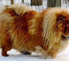 Породы собак с описанием и фото. - Страница 2 1483437244_chow-chow-dog-photo-8
