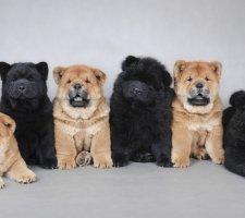 Породы собак с описанием и фото. - Страница 2 1483437259_chow-chow-dog-photo-2