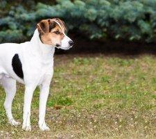 Породы собак с описанием и фото. - Страница 2 1483532377_fox-terrier-dog-photo-1
