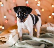 Породы собак с описанием и фото. - Страница 2 1483532398_fox-terrier-dog-photo-2