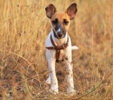 Породы собак с описанием и фото. - Страница 2 1483532427_fox-terrier-dog-photo-8