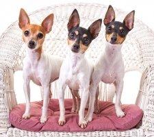 Породы собак с описанием и фото. - Страница 2 1483532428_fox-terrier-dog-photo-5