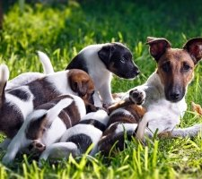 Породы собак с описанием и фото. - Страница 2 1483532431_fox-terrier-dog-photo-9