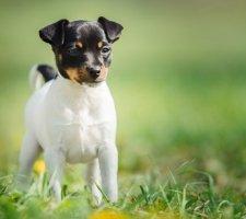 Породы собак с описанием и фото. - Страница 2 1483532447_fox-terrier-dog-photo-4