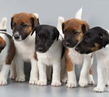 Породы собак с описанием и фото. - Страница 2 1483532465_fox-terrier-dog-photo-6