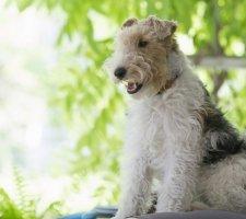 Породы собак с описанием и фото. - Страница 2 1483532471_fox-terrier-dog-photo-3
