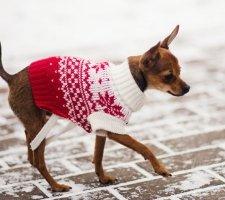 Породы собак с описанием и фото. - Страница 2 1483543113_russkiy-toy-terrier-dog-photo-7