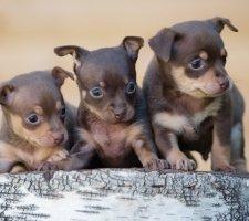 Породы собак с описанием и фото. - Страница 2 1483543127_russkiy-toy-terrier-dog-photo-2