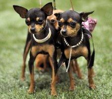 Породы собак с описанием и фото. - Страница 2 1483543130_russkiy-toy-terrier-dog-photo-3