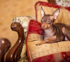 Породы собак с описанием и фото. - Страница 2 1483543140_russkiy-toy-terrier-dog-photo-6