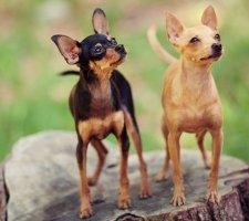 Породы собак с описанием и фото. - Страница 2 1483543149_russkiy-toy-terrier-dog-photo-4