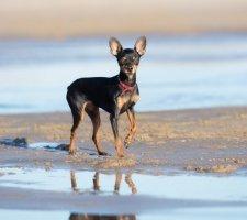 Породы собак с описанием и фото. - Страница 2 1483543184_russkiy-toy-terrier-dog-photo-1