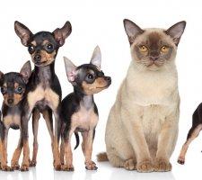 Породы собак с описанием и фото. - Страница 2 1483543197_russkiy-toy-terrier-dog-photo-5
