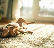 Породы собак с описанием и фото. - Страница 2 1483543204_russkiy-toy-terrier-dog-photo-8