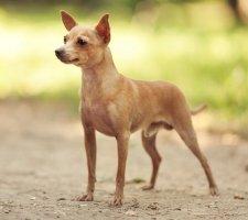 Породы собак с описанием и фото. - Страница 2 1483543213_russkiy-toy-terrier-dog-photo-9