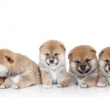 Породы собак с описанием и фото. - Страница 2 1483551687_shiba-inu-dog-photo-5