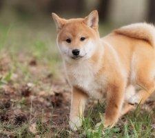 Породы собак с описанием и фото. - Страница 2 1483551691_shiba-inu-dog-photo-9