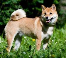 Породы собак с описанием и фото. - Страница 2 1483551695_shiba-inu-dog-photo-4