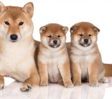 Породы собак с описанием и фото. - Страница 2 1483551695_shiba-inu-dog-photo-8