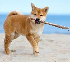Породы собак с описанием и фото. - Страница 2 1483551704_shiba-inu-dog-photo-1