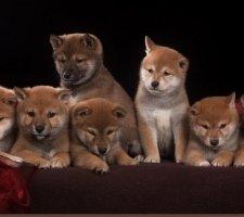 Породы собак с описанием и фото. - Страница 2 1483551712_shiba-inu-dog-photo-2