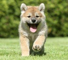 Породы собак с описанием и фото. - Страница 2 1483551712_shiba-inu-dog-photo-3