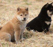 Породы собак с описанием и фото. - Страница 2 1483551717_shiba-inu-dog-photo-7
