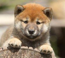 Породы собак с описанием и фото. - Страница 2 1483551718_shiba-inu-dog-photo-6