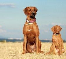 Породы собак с описанием и фото. - Страница 2 1483608620_rhodesian-ridgebac-dog-photo-1