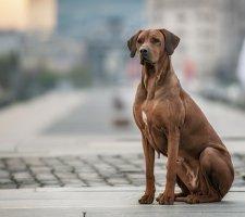 Породы собак с описанием и фото. - Страница 2 1483608630_rhodesian-ridgebac-dog-photo-9