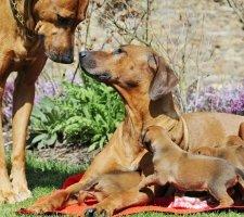 Породы собак с описанием и фото. - Страница 2 1483608650_rhodesian-ridgebac-dog-photo-4