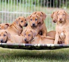 Породы собак с описанием и фото. - Страница 2 1483608666_rhodesian-ridgebac-dog-photo-8